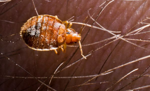 Adult unfed bed bug